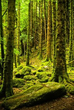 Forest of moss, Killarney National Park, Ireland- something that I would really love to see in person.Forest of moss, Killarney National Park, Ireland- something that I would really love to see in person. Vitrier Paris, Tree Forest, Conifer Forest, Oh The Places You'll Go, The Great Outdoors, National Parks, Beautiful Places, Scenery, Around The Worlds