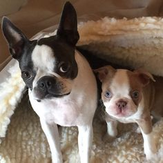 "Bella Blue & Lilac Luxley ""Lux"" Boston Terriers"