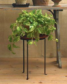 Pothos Vine (#Epipremnum 'Marble Queen')   #efeutute #pflanzen #plants #pflanzenfreude