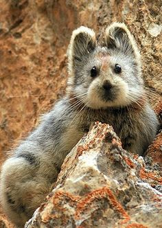 ~~A very rare Ili pika in the Tianshan Mountains in China.The animal which resembles a rabbit was first observed by conservationist Li Weidong in 1983. After three years of research, Mr Li and his team named it the Ili Pika, after the area where it is found, the Ili Prefecture on the far west side of China's Xinjiang province.   by Li Weidong~~