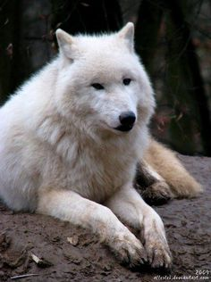 #Wolves #Wolfs