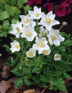 Snowdrop anemone • Anemone sylvestris • Snowdrop windflower • Plants & Flowers • 99Roots.com