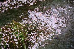 散り桜 三春川 勝持寺 華やか 京都