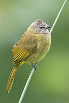 Flavescent Bulbul (Pycnonotus flavescens) - Mae Wong