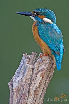 Beautiful Kingfisher