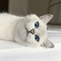 Photo - Google+ Beautiful blue eyes on Kitty! #Cats