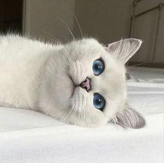 Photo - Google+ Beautiful blue eyes on Kitty! #Cats