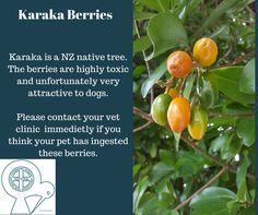 Karaka berries are highly toxic. If you think your dog has eaten any, please get them to the vet clinic immediately
