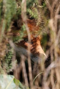 Red Fox by Edward Cottell on Flickr.