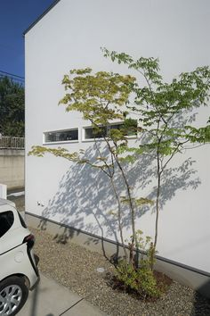 モリハウジング 久慈町の家 植栽 アオダモとコハウチワカエデ 漆喰の家