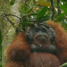 """Despite holding a leafy branch over his head, this large male gets soaked in a downpour in Borneo's rain forest,"""
