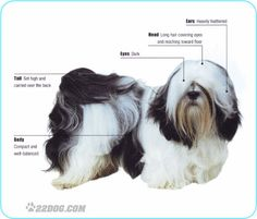 The Lhasa Apso originated in Tibet and is sometimes known as the Tibetan Apso. It is a small, indoor watchdog, possibly bred in the distant past from the Tibetan Mastiff. The word apso means goat-like, and the dog may have been so named because its coat resembled that of the goats kept by Tibetan herders. The breed was very highly regarded in its native land, and kept in temples and palaces. The Lhasa is often confused with the Shih Tzu from western China, but there are a number of physical…