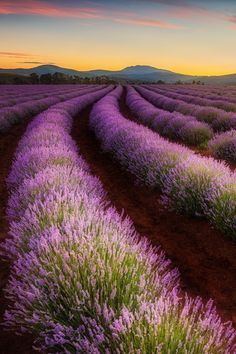 The wonderful Bridestowe Lavender Farm, Tasmania - photography by Tim Clark. Beautiful World, Beautiful Places, Lavender Fields, Lavander, Amazing Nature, Beautiful Landscapes, Land Scape, The Great Outdoors, Scenery