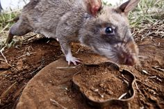 Meet The Landmine-Hunting Giant Rats Of Mozambique