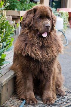 Brown Newfoundland Dog Sitting http://www.poochportal.com/