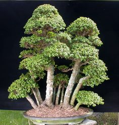 Portulacaria afra – Dwarf Jade, the Elephant's Food or Spekboom bonsai