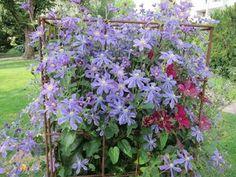 Clematis integrifolia Arabella  At/Co