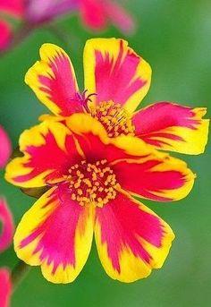 Portulaca 'Summer Duet Rose' | Backyards Click