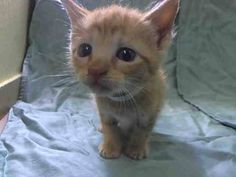 SAFE! TO BE DESTROYED 7/18/14 ** BABY ALERT! ONLY 4 WEEKS OLD! three kittens came together A1006637, A1006639, A1006640 - PLEASE FOSTER, ADOPT OR PLEDGE TO HELP SAVE THESE LITTLE ONES TONIGHT! ** Manhattan Center  My name is SONIC. My Animal ID # is A1006640. I am a female red and org tabby domestic sh mix. The shelter thinks I am about 4 WEEKS old.  I came in the shelter as a STRAY on 07/14/2014 from NY 10460. I came in with Group/Litter #K14-185853.