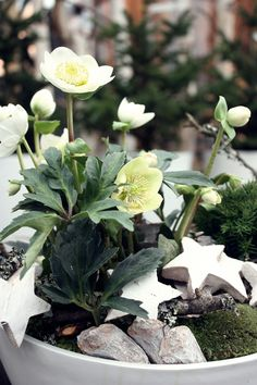 A festive display of the Christmas Rose #plants #winter #garden