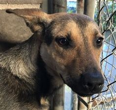 ***TO BE DESTROYED 03/11/17*** IRE - 6 months old - Shepherd Mix - 146182 - #146182 - FOR MORE PICS, VIDEOS & INFO: http://www.dogsindanger.com/dog/1487078644660