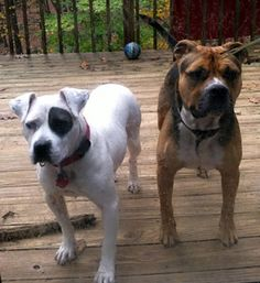 """It's a classic """"love at first sight"""" story—while browsing Facebook, Aurora Bergmann saw a post featuring Berry, a special pit bull terrier in need of a home at the ASPCA Adoption Center in New York City. Bergmann felt Berry's picture was posted just for her"""