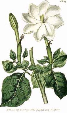vintage botanical art:  gardenia