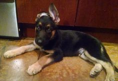 German Shepherd puppy with one lazy ear