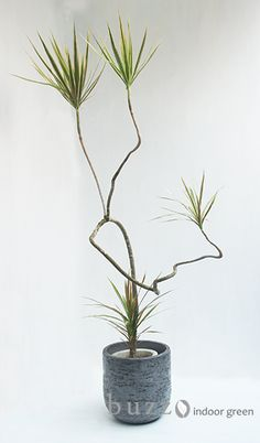 Dracaena marginata cv,tricolor / ドラセナ コンシンネ トリカラー | #bonsai, plant training