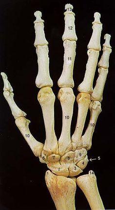 Dorsal Hand Skeleton by elizabethnixon on DeviantArt Skull Reference, Hand Reference, Anatomy Reference, Art Reference Poses, Human Skeleton Anatomy, Human Anatomy Art, Anatomy For Artists, Arm Bones, Skull And Bones