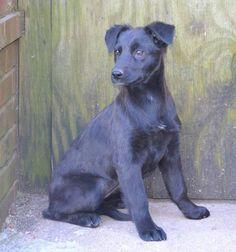 "Meet Geneva, a Petfinder adoptable Labrador Retriever Dog | Essex, MA | ""Geneva""a 4 month old, 20 lb, female black lab spaniel mix.. found running loose in an Alabama..."