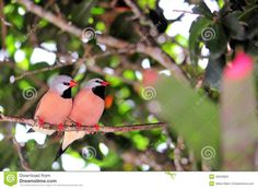 bird-long-tailed-finches-adult-finch-birds-also-known-as-blackheart-finch-shaft-tail-finch-heck-s-grassfinch-heck-s-grass-finch-43520859.jpg (1300×954)