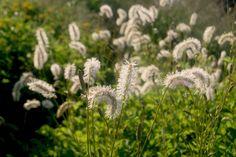 Ein kleines Stückchen Sissinghurst Gartenpraktikum Tag 26, 22.07.2016 Inspiriert durch den Weissen Garten in Sissinghurst bin ich durch den Sussex Prärie Garten gelaufen, um Ausschau nach weissen P…