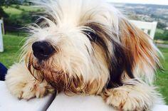 Maisie the Tibetan Terrier