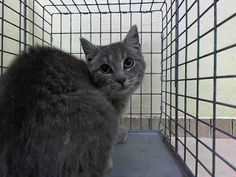 SAFE! TO BE DESTROYED 4/24/14 ** Poor little Bow Tie is terribly scared in his new surroundings. Please help to save his life tonight- pledge, foster, or adopt. ** Brooklyn Center  My name is BOW TIE. My Animal ID # is A0997122. I am a male gray tabby and white domestic sh mix. The shelter thinks I am about 1 YEAR  I came in the shelter as a STRAY on 04/19/2014 from NY 11220