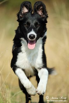 "Border Collie ""Sammy"""
