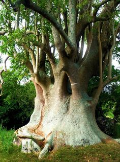 """Did you know that there are bushes the size of large trees? In the Pampas grasslands in South America there is a """"tree"""" called the Ombu. It is the only tree-like plant that lives on the Pampas because it does not need a lot of water to survive."""