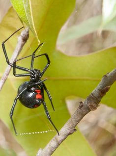 venomous animals that could save your life Despite its ominous name and appearance, the black widow's venom has proven beneficial to medical science.Despite its ominous name and appearance, the black widow's venom has proven beneficial to medical science. Spider Lamp, Brown Recluse Spider, Black Widow Spider, Baby Chihuahua, Spider Bites, Medical Science, Predator, Animals And Pets, Mother Nature