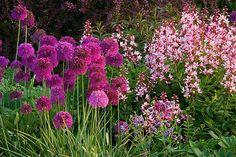 Pettifers garden, Oxfordshire: Border in spring with allium 'purple sensation' and dictamnus var purpureus. By Clive Nichols.