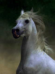 the beauty of the arabian horse as photographed by wojtek kwiatkowski
