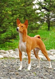 The Basenji IS Called The !Barkless! Dog And Has A Very Distinct Yodel or Yowl