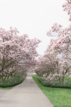 Stunning Magnolia Alley and Cherry Blossoms in Niagara Parks Cherry Blossom Tree, Blossom Trees, Visiting Niagara Falls, Sakura Bloom, Canadian Winter, Spring Is Coming, Pathways, Mother Nature, Magnolia