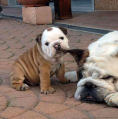 The major breeds of bulldogs are English bulldog, American bulldog, and French bulldog. The bulldog has a broad shoulder which matches with the head. The skin o I Love Dogs, Puppy Love, Cute Dogs, Cutest Puppy, Adorable Puppies, Funny Dogs, Funny Puppies, Mom Funny, Adorable Babies