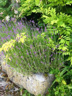 Stone trough # lavender