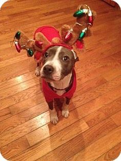 Ridgewood NY - American Pit Bull Terrier Mix. Meet Willow a Puppy for Adoption.