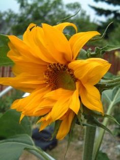 Growing Sunflowers from Seeds