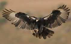 Found in mountainous areas throughout Africa, the Black Eagle likes to feed on rock hyrax Raptor Bird Of Prey, Birds Of Prey, Animal Spirit Guides, Spirit Animal, Black Eagle, National Animal, Apex Predator, Cardinal Birds, Retro Futurism