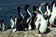 New Zealand King Shag Leucocarbo carunculatus - Google Search