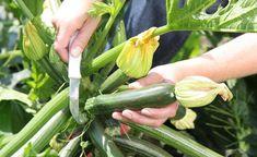 Eine gesunde Zucchini-Pflanze versorgt die ganze Familie den ganzen Sommer über mit knackigen Früchten