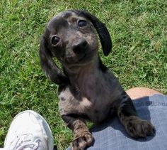 PYT is an adoptable Dachshund Dog in Texarkana, TX. PYT (Pretty Young Thing) is a short hair dapple female Dachshund. Her birthday is 7/9/2013 and she weighs 7.2 pounds. PYT has received 2 set of vet ...